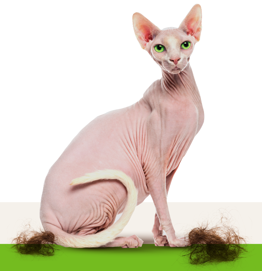 Shaved bare cat with clumps of hair around his feet